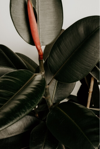 rubber-tree-plant-leaves
